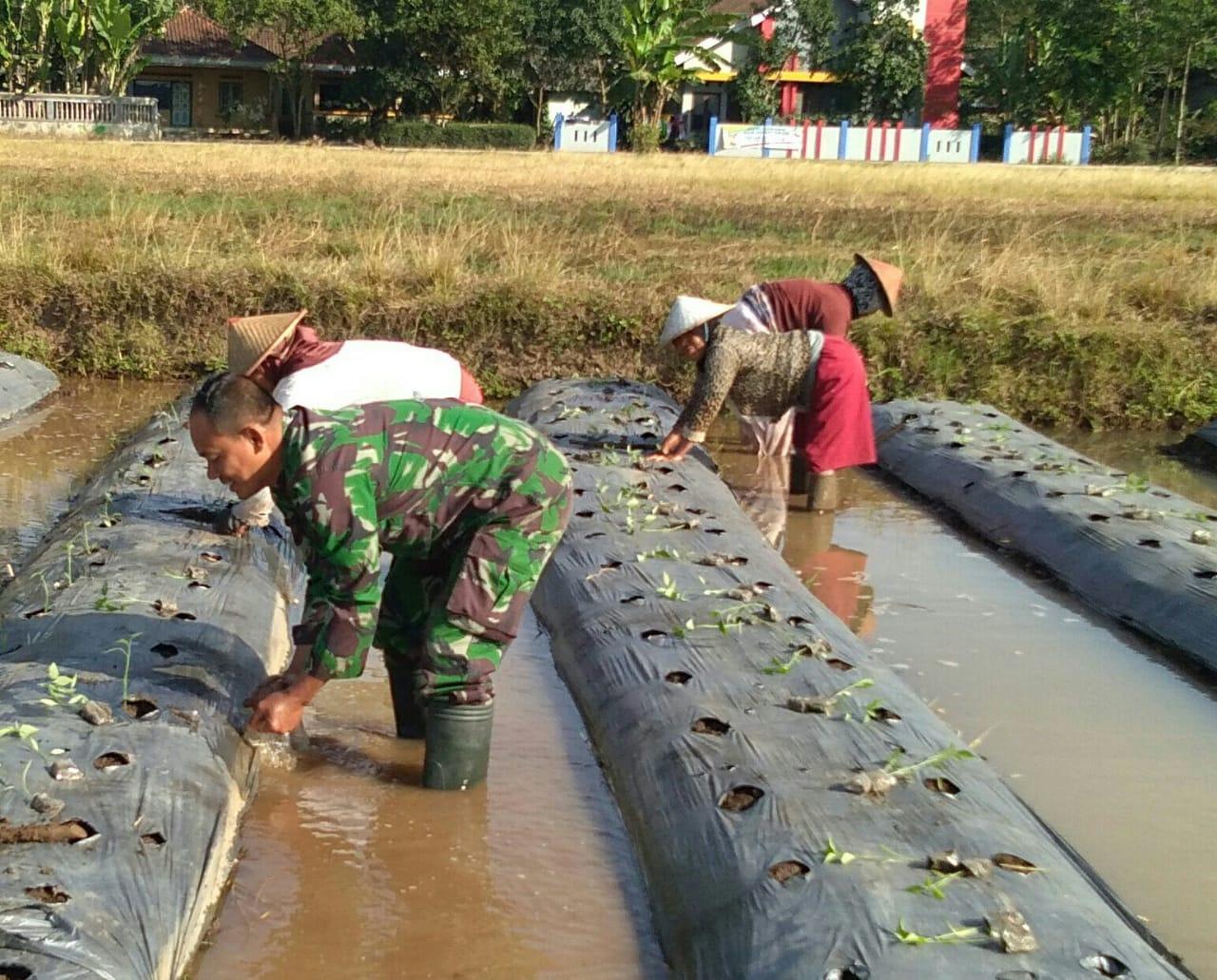 Berkubangan Dengan  Air Babinsa Bantu Petani Di Sawah