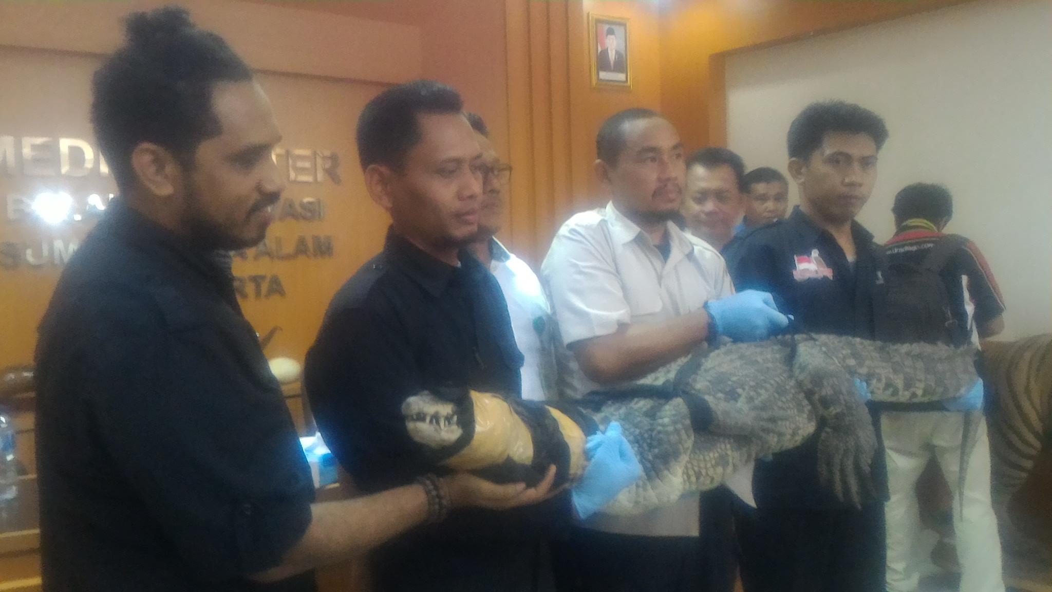 Kepala Balai KSDA Jakarta, Translokasi 11 Buaya Muara