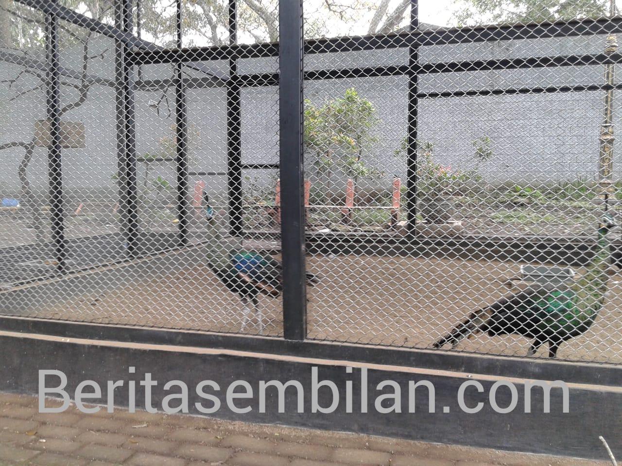 Dua Merak di Taman Wisata Wendit Diduga Tak Kantongi Izin