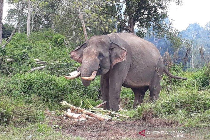 WWW Nilai Habitat Gajah Sumatera Sudah Kritis