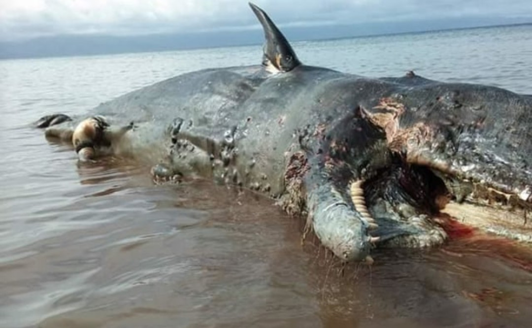 Ikan Paus Terdampar di Pantai Wai Ipa