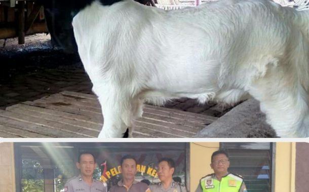 Pencuri Kambing Seharga Ratusan Juta Di Lumajang Ditangkap