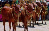 Parade Sapi Sonok Lestarikan Budaya di Bumi Sumekar Sumenep