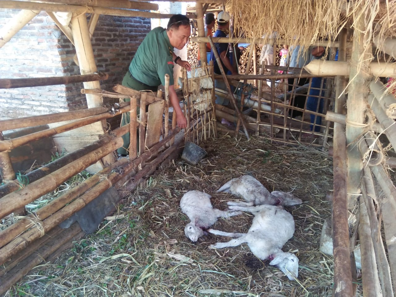 Misteri Kematian Ternak di Paseban Jumapolo