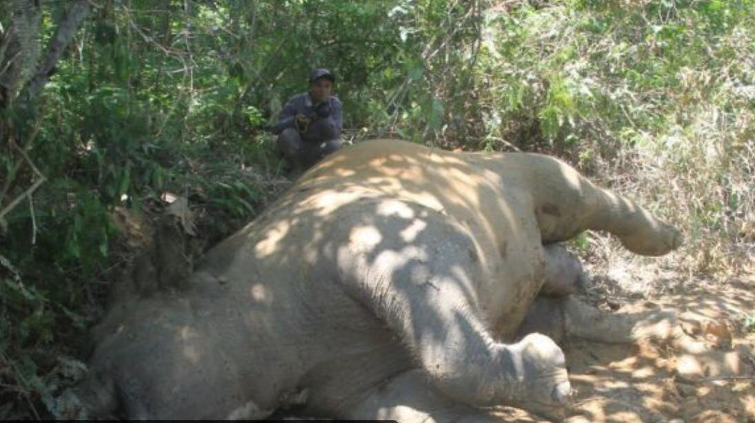 Gajah Sumatra Mati di Konsesi Hutan Tanaman Industri (HTI) PT Arara Abadi Sinar Mas Group